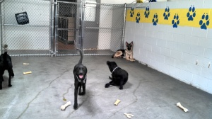 Leader Dogs in training