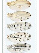 fruit fly black wing spots