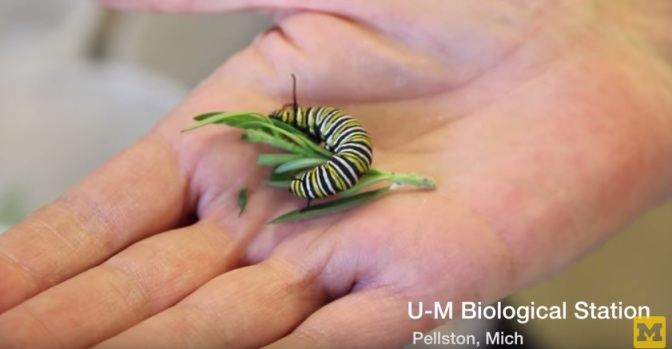UM Experiments Seek Answers To The Future of Milkweed, Monarchs