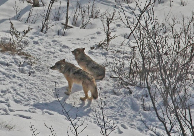 Michigan Tech report on Isle Royale: Just two wolves, many more moose and beavers