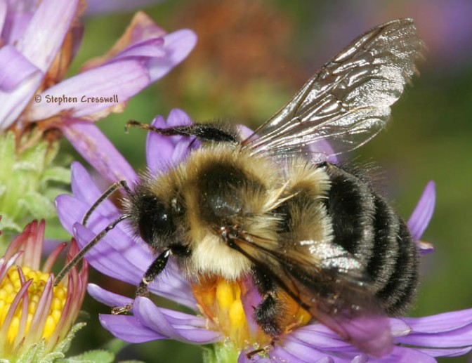 Bumblebee populations higher in Detroit than in some less-urbanized areas; vacant lots could be a factor